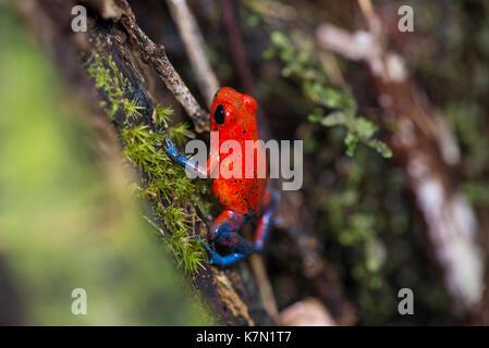 Strawberry poison-dart frog (Dendrobates pumilio), Costa Rica, Central America - Stock Photo
