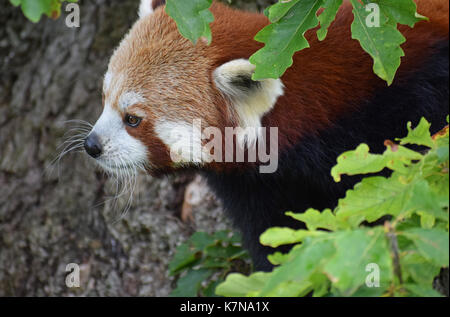 Red Panda - Lake District Wildlife Park, Bassenthwaite, Keswick, Lake District, North West England