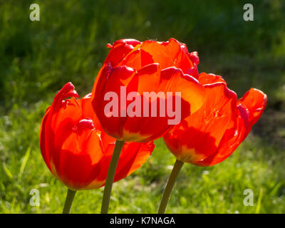 Three red tulips (Lat: tulipa) on a meadow in the light of the sun. - Stock Photo