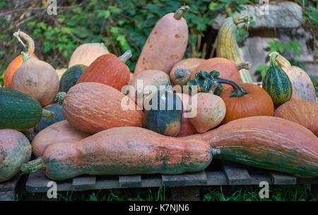 many multicolor pumpkins many multi-shaped pumpkins many colorful pumpkins - Stock Photo