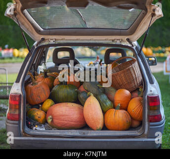 many multicolor pumpkins in the car booth many multi-shaped pumpkins many colorful pumpkins - Stock Photo