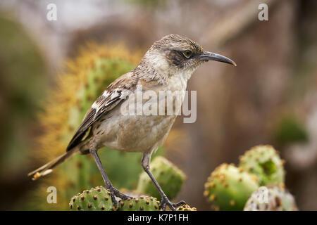 Galapagos Mockingbird in the Galapagos Islands of Ecuador