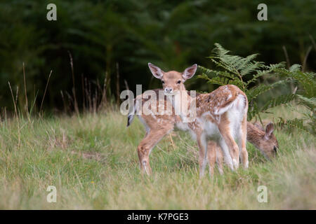 Two young Fallow Deer in a small grass clearing among some tall ferns. One looking at the camera & one eating grass. - Stock Photo