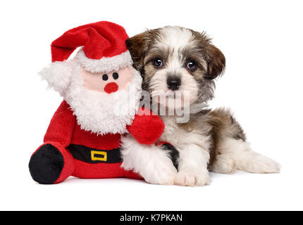 Cute Bichon Havanese puppy dog lying with a little Santa Claus plush toy - Isolated on white background - Stock Photo