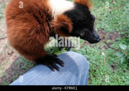 Ramat Gan, Israel. 17th September, 2017. A Red Ruffed Lemur leans on photographer's knee as animal handlers symbolically - Stock Photo