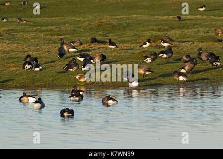 Brent goose Branta bernicla flock resting and preening on marshland Farlington Marshes Hampshire and Isle of Wight - Stock Photo