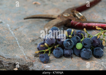Grape bunch and scissors on rustic table - Stock Photo