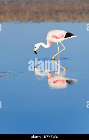 Andean Flamingo (Phoenicoparrus andinus), Phoenicopteridae family, Laguna de Chaxa, Atacama desert, Chile - Stock Photo