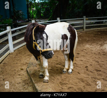 A pony standing in case at safari park in Bangkok, Thailand. - Stock Photo