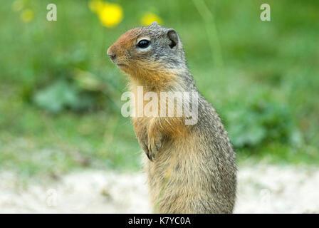 Columbian ground squirrel (Spermophilus columbianus), British Columbia, Canada - Stock Photo
