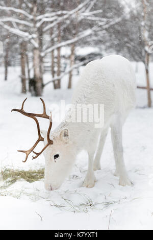 Reindeer feeding in the snow, Lapland, Finland - Stock Photo