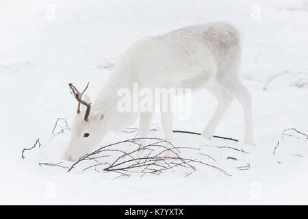 Baby Reindeer feeding in the snow, Lapland, Finland - Stock Photo