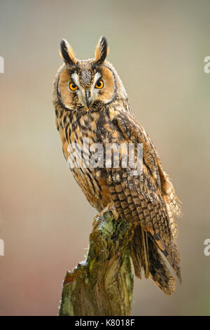 Long-eared Owl - Asio otus - Stock Photo