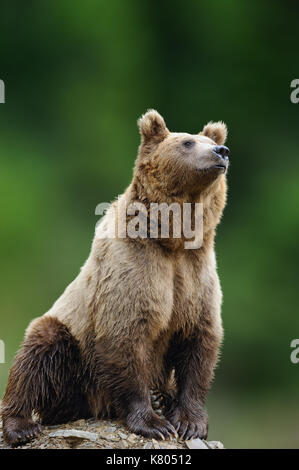 Big brown bear in the nature habitat. Wildlife scene from nature. Dangerous animal in nature - Stock Photo
