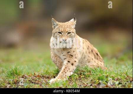 Lynx, Eurasian wild cat walking on forest in background. Beautiful animal in the nature habitat. Wildlife hunting - Stock Photo