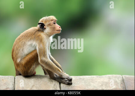Toque macaque, Macaca sinica. Monkrey on the tree. Macaque in nature habitat, Sri Lanka. Detail of monkey, Wildlife - Stock Photo