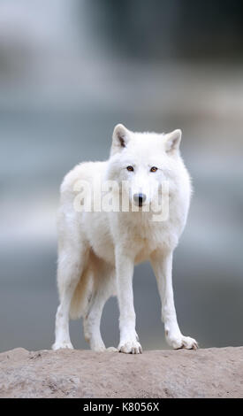 Arctic wolves in the winter. Close arctic wolf on winter blured background - Stock Photo