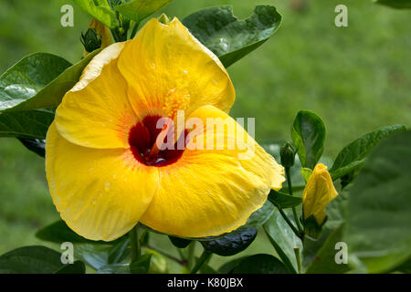 A big tree with yellow flower isolated on white background stock big yellow hibiscus flowers on tree stock photo mightylinksfo