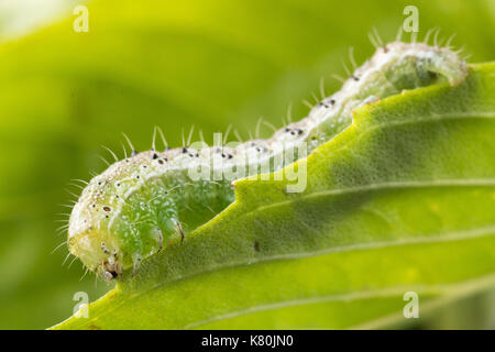 Cross-striped cabbage looper is crawling on  sweet basil leaf. - Stock Photo