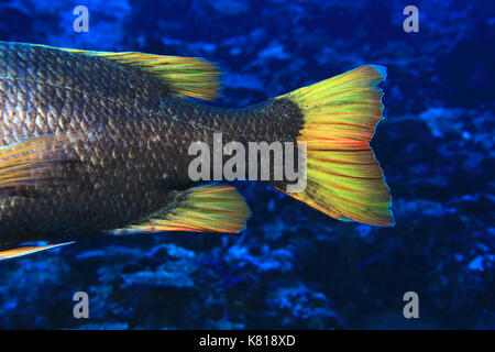 Tail of Orange-spotted emperor fish (Lethrinus erythracanthus) underwater in the tropical indian ocean - Stock Photo