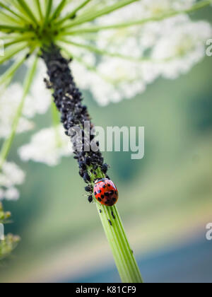 A ladybug (Coccinella septempunctata) in the midst of many plant louses (Aphidoidea). Ladybugs are considered useful - Stock Photo