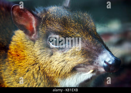 head of a lesser mouse-deer with a long tusk canine tooth - Stock Photo