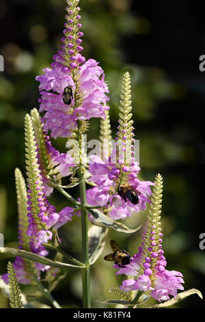 Bumblebees pollinating the purple flowers of a perennial herbaceous Obedient Plant variegated cultivar in a Canadian - Stock Photo