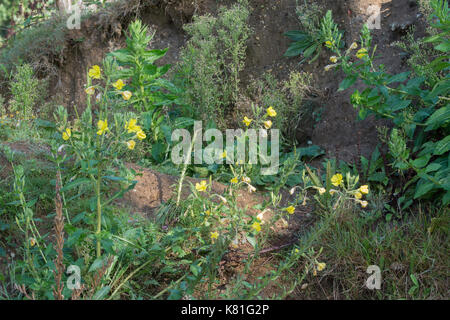 Evening primroses (Oenothera glabra) growing on bare earth in Woolmer Forest in Hampshire, UK - Stock Photo