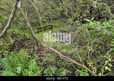 Some trees and bushes that have fallen over in a woodland bog with water and reflections in the surface. A muddy - Stock Photo