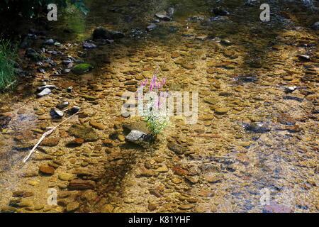 Blutweiderich, Lythrum Salicaria, in einem Bach - Stock Photo