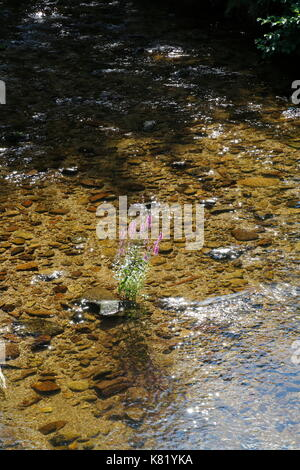 Blutweiderich, Lythrum Salicaria, in einem Bach - Stock Photo