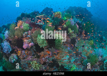Coral reef populated with colorful crinods. Puerto Galera , Philippines. - Stock Photo