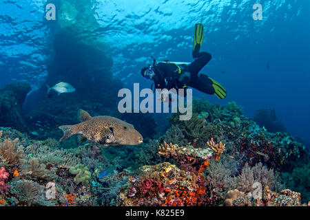 Scuba diver looks on as large map pufferfish (Arothron mappa) swims through coral reef. Raja Ampat, Indonesia. - Stock Photo