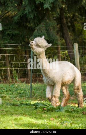 Alpaca at the Cascade Alpacas and Foothills Yarn & Fiber farm near Hood River, Oregon, USA.  This is stop # 15 on the 2014 Fruit Loop.