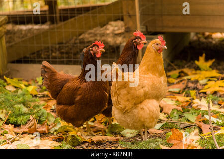 Free-ranging Buff Orpington and Rhode Island Red chickens, walking outside their coop, in western Washington, USA - Stock Photo