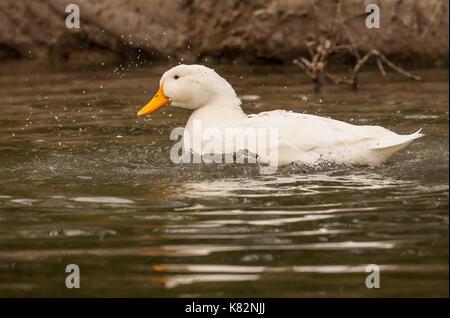 Pekin duck bathing in a pond in Hermann Park in Houston, Texas, USA.  The American Pekin Duck, Pekin duck, or Long - Stock Photo