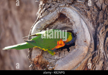 Red-collared Lorikeet cleaning his 'house' 2 meters away from me. - Stock Photo
