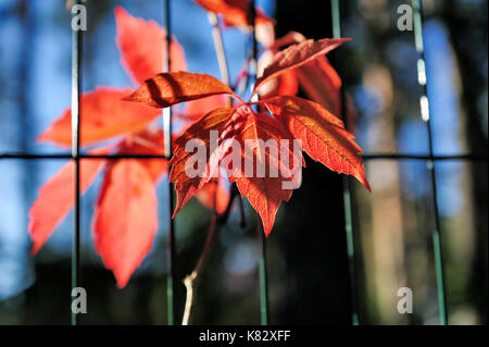 red virginia creeper leaves on wire fence in autumn Stock Photo ...