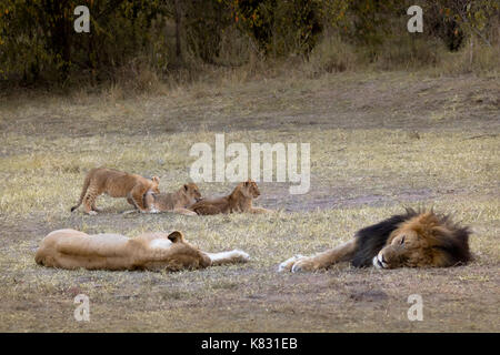 Two adult lions sleep whilst their three cubs enteratin themselves