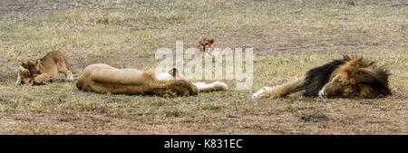 Two adult lions sleep whilst two of their cubs play-fight and the third gets furious with them. Masai Mara, Kenya