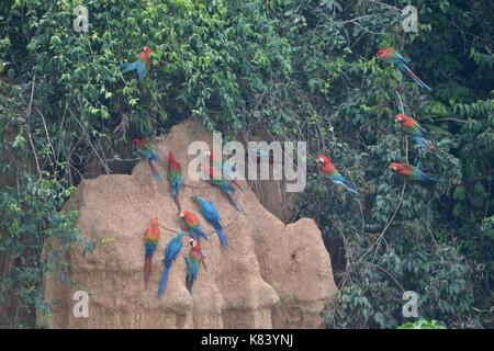 Macaws gather for feeding at the Chuncho Colpa clay licks in Tambopata National Reserve. Madre de Dios, Peru Stock Photo