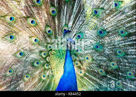 Peacock feathers mating is a male peacock spreading its plumes and feathers in a full on mating dance. - Stock Photo