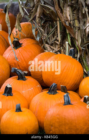 Stack of large fresh Pumpkins at a pumpkin patch - Stock Photo