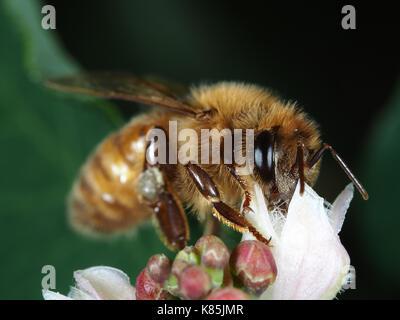 Honey bee (Apis mellifera) gathering pollen on a white flower in Kirkland, WA, USA - Stock Photo