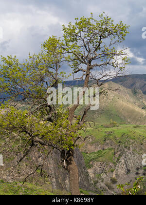 Springtime in Armenia, a tree with young green leaves on the edge of the Garni gorge, dramatic nature in the Kotajk - Stock Photo