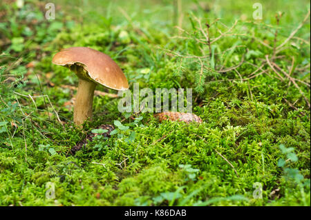 Mushroom in Swedish forest. - Stock Photo