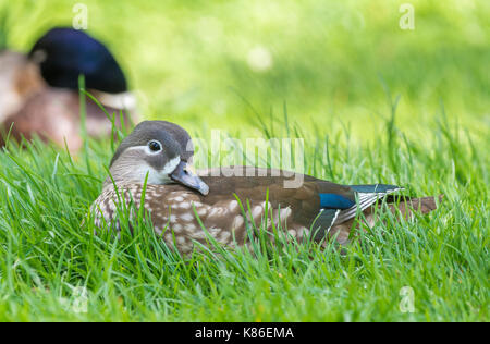 Aix galericulata hen (female Mandarin Duck) laying on grass in early Summer in West Sussex, England, UK. - Stock Photo