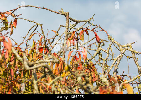 Colourful leaves on a tree as leaves start to die at the start of Autumn, against grey sky in the UK. - Stock Photo