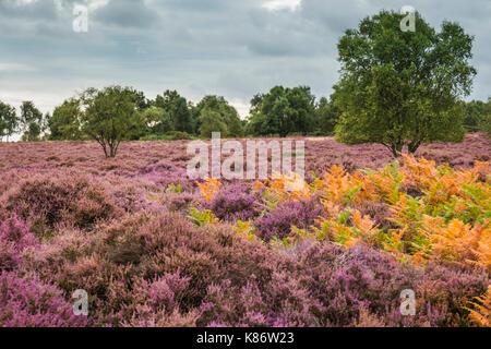 Heathland during autumn at Minsmere nature reserve, Suffolk, UK. - Stock Photo