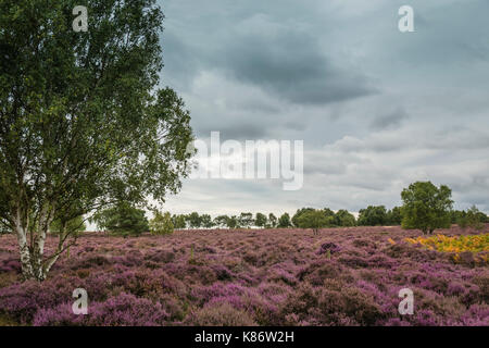 Heathland during autumn at Minsmere nature reserve, Suffolk, UK. - Stock Photo